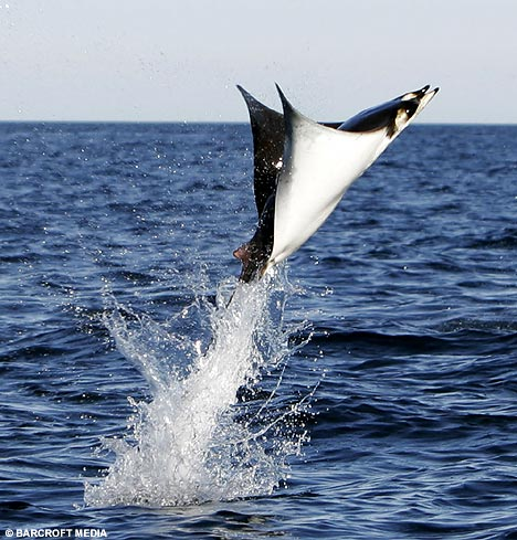 manta ray leaping out of the water